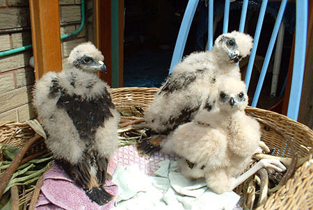 Swamp-Harrier-chicks-450