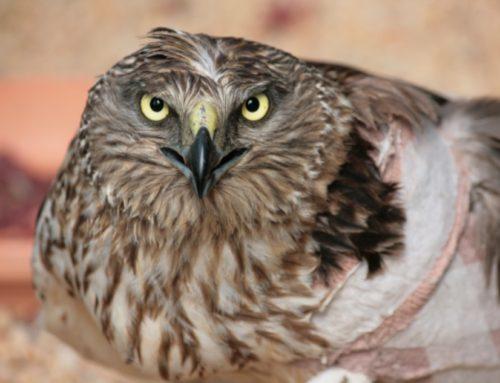 Rehab sparrowhawk