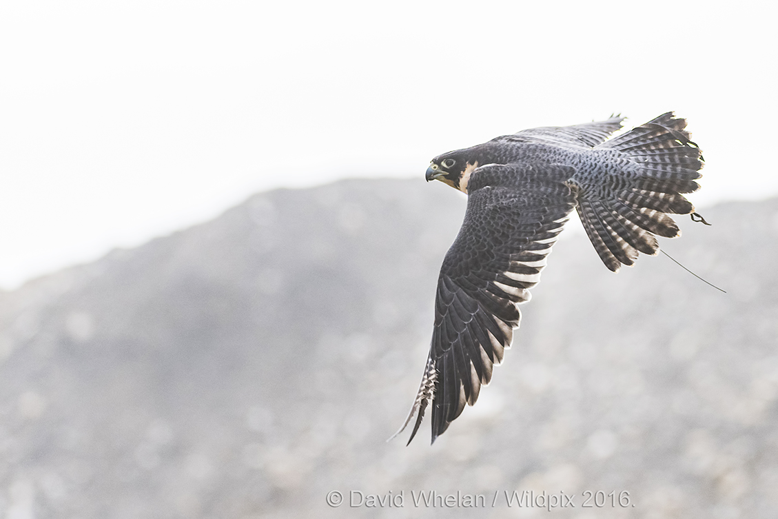 Falcon-in-The-Mist-Cleo-in-Flight-1.jpg
